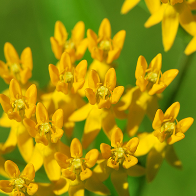 Butterfly Weed – Nectar of the Monarchs